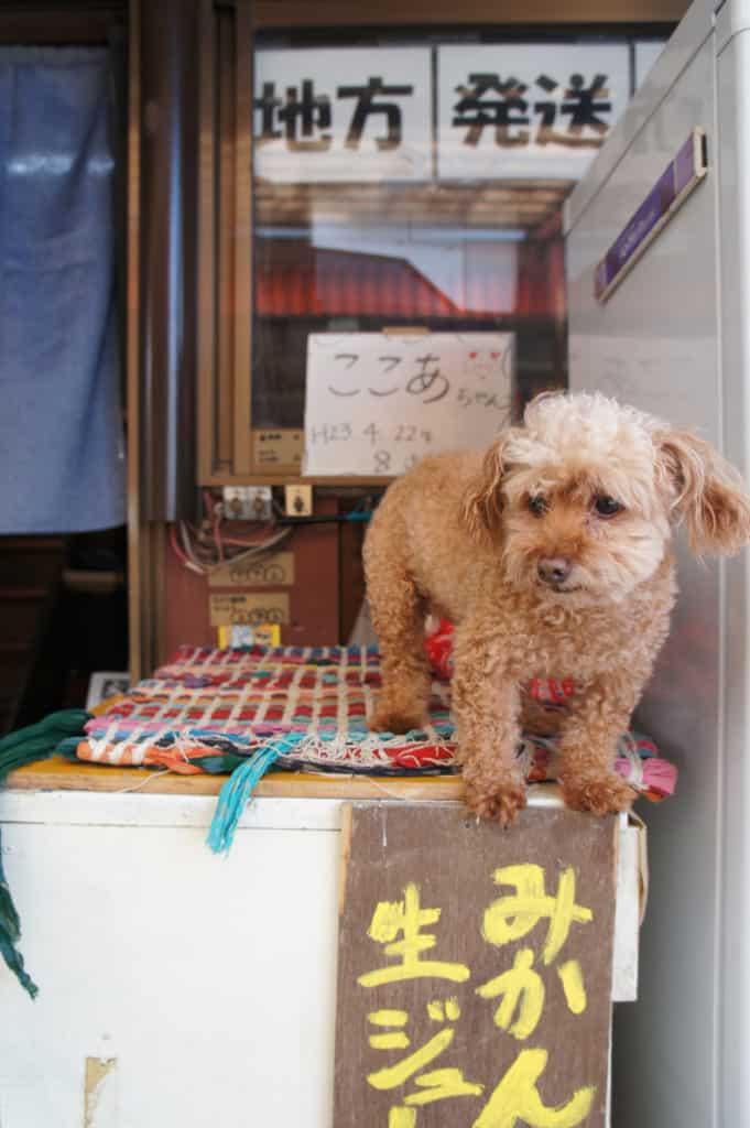 Cocoa chan, Mizumoto Orange Garden's toy poodle