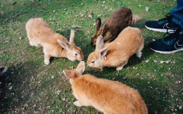 Okunoshima Rabbit Island in Hiroshima