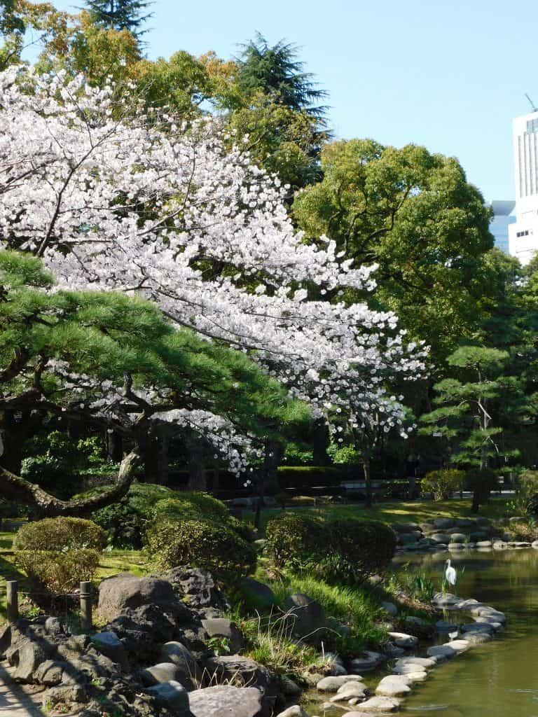Tokyo Cherry Blossoms Spot Hanami Japan Season Hibiya Park Festival