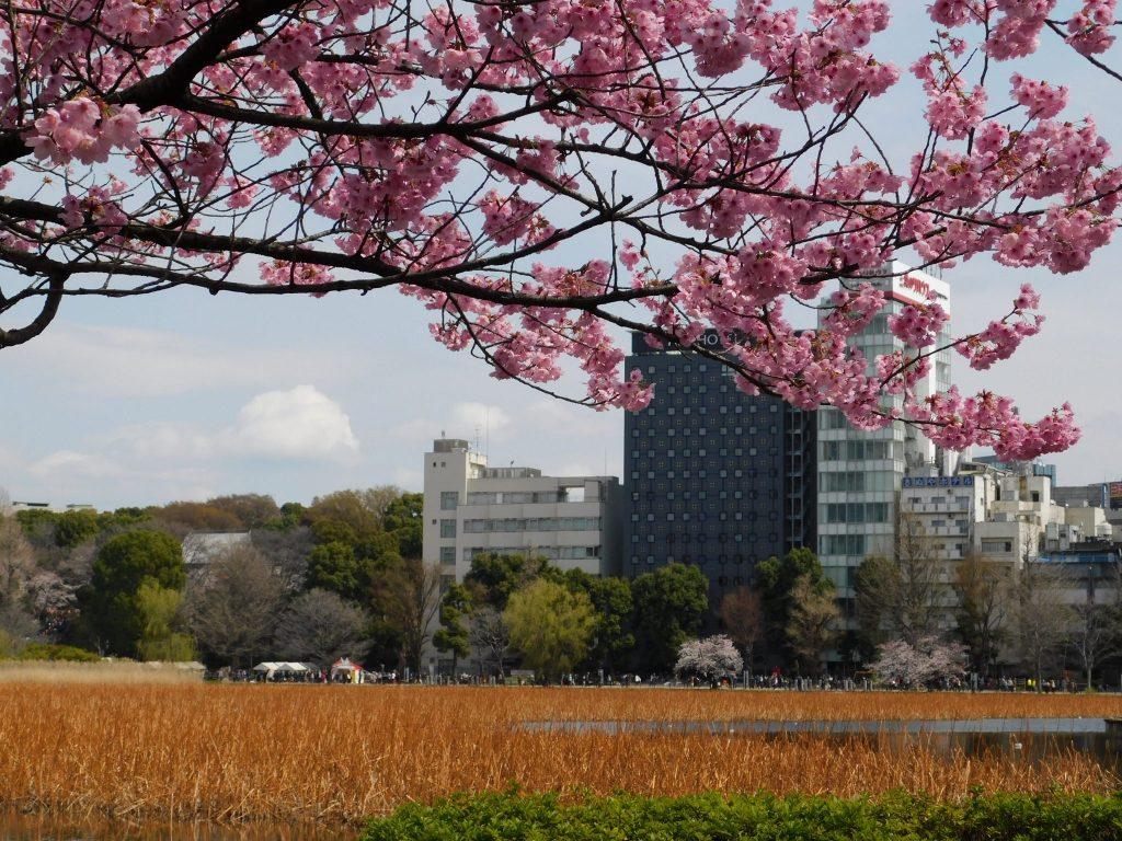 Tokyo Cherry Blossoms Spot Hanami Japan Season Ueno Park Pond