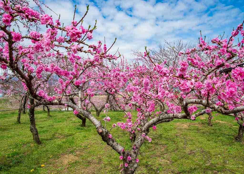 Impressive Peach blossoms in Yamanashi, Japan, during springtime
