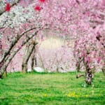 Peach Blossoms – Japan's Other Spring Flower Blossoms