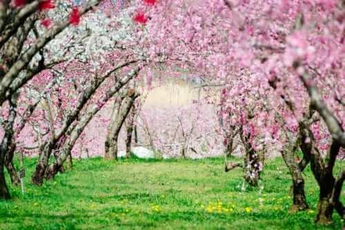 A peach blossom tunnel in Yamanashi, Japan