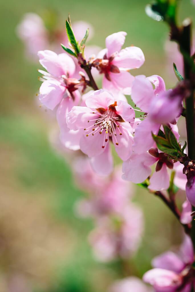 Peach blossoms bloom on a farm in Yamanashi