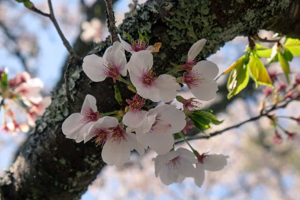 sakura blossoms in kyushu, japan