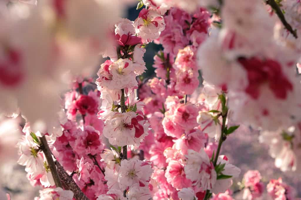 Mixed colors of sakura cherry blossom in a park in Kyushu during Japan spring