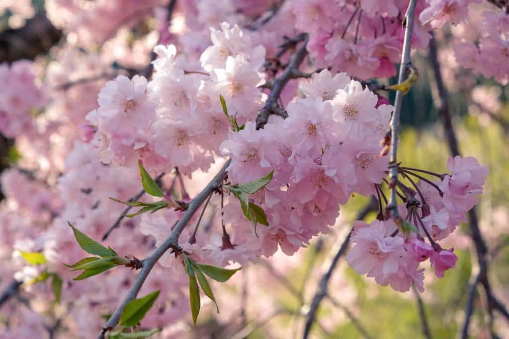 Pink sakura blossom on a tree in Kyushu