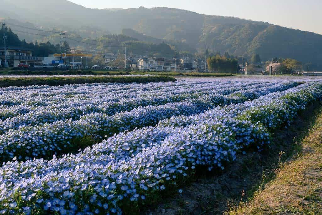 baby blue eye flower field park in japan