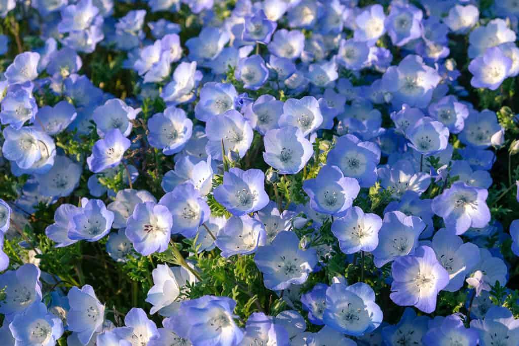 Closeup of Baby Blue Eyes flowers