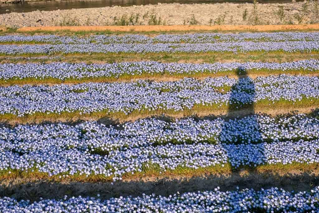 Fields of blue nemophila