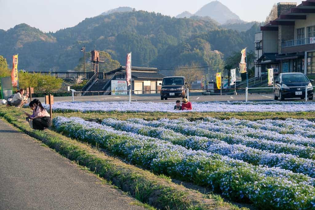 baby blue eye fields in yabakei, kyushu, japan