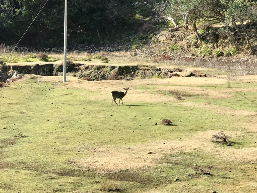 Deer in the abandoned island of Nozaki