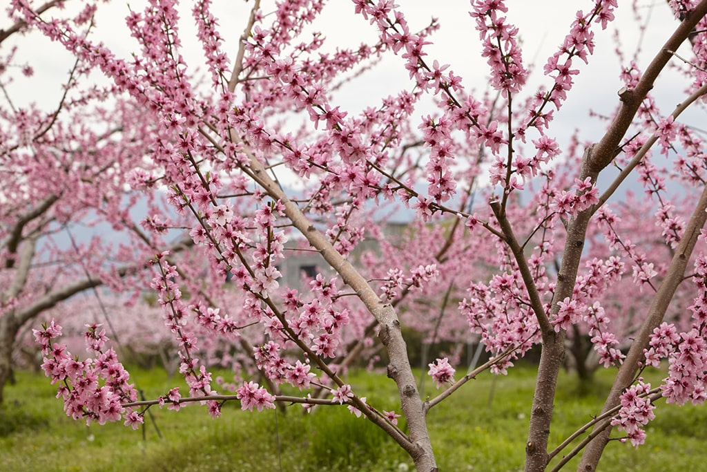 Close up on peach blossoms in a peach farm, Yamanashi, Japan