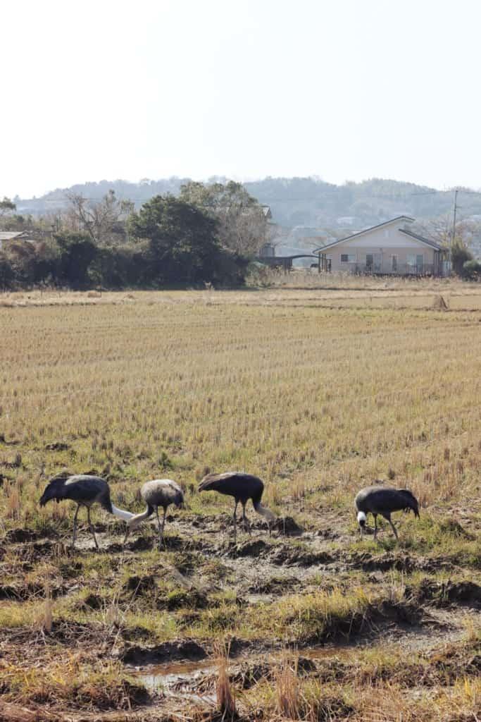 Cranes of Izumi, Kagoshima, Japan