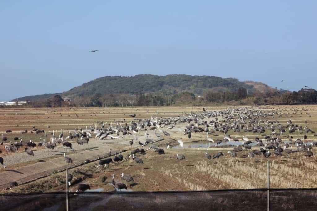 Cranes in Izumi, Kagoshima, Japan