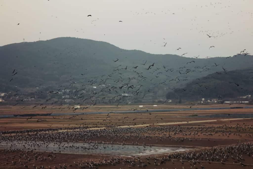 Cranes flight in Izumi, Kagoshima, Japan