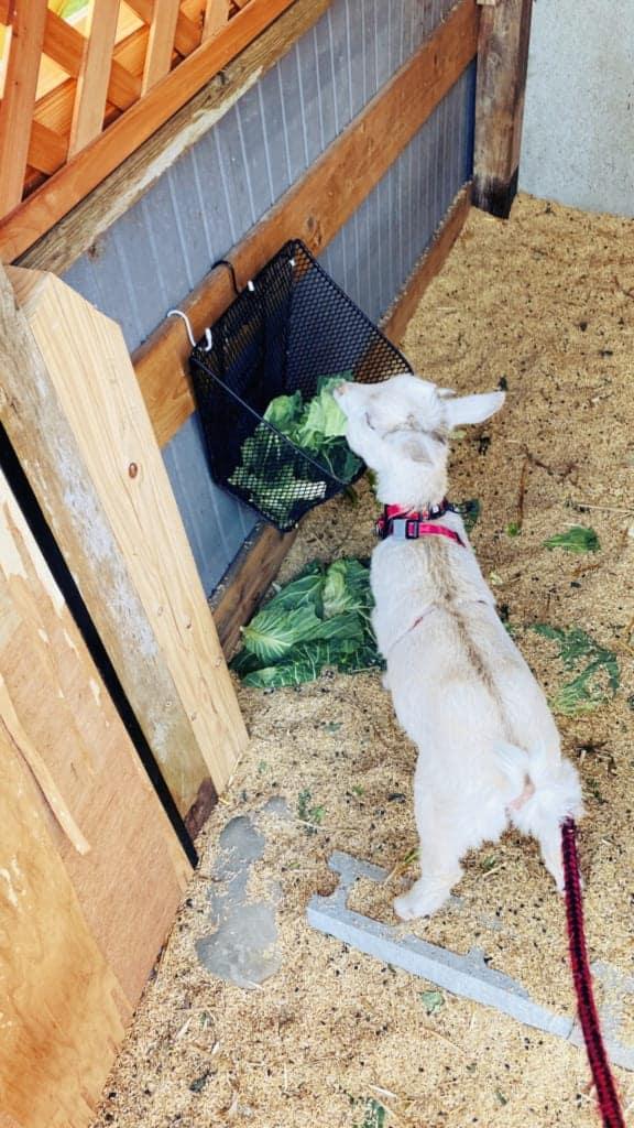 Goat in Izumi, Kagoshima, Japan
