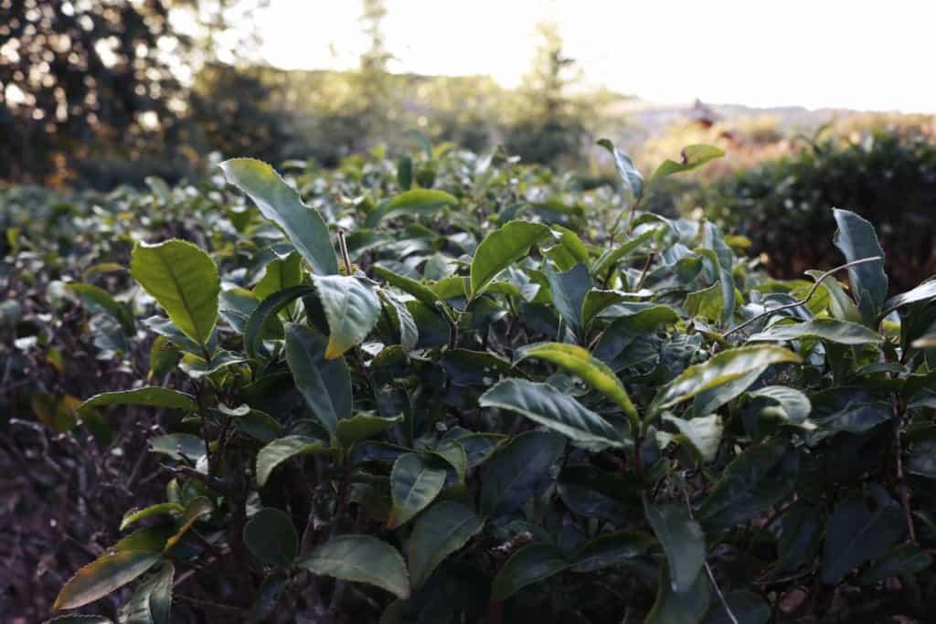 Tea leaves field in Izumi, Kagoshima, Japan