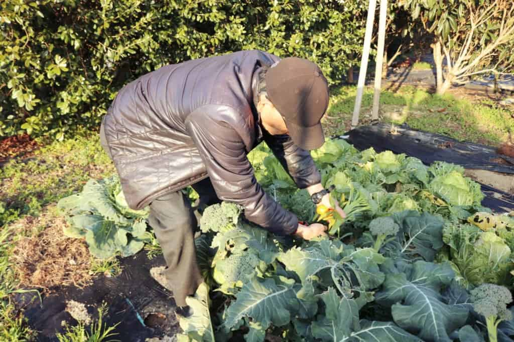 Picking vegetables in Izumi, Kagoshima, Japan