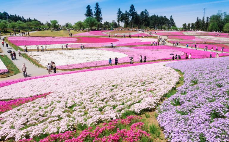 Chichibu Shibazakura Flower Festival