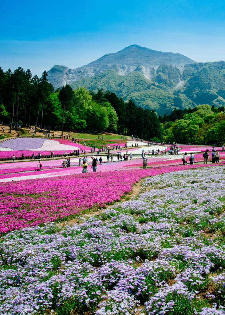 view of Chichibu Shibazakura Flower Festival  in Japan