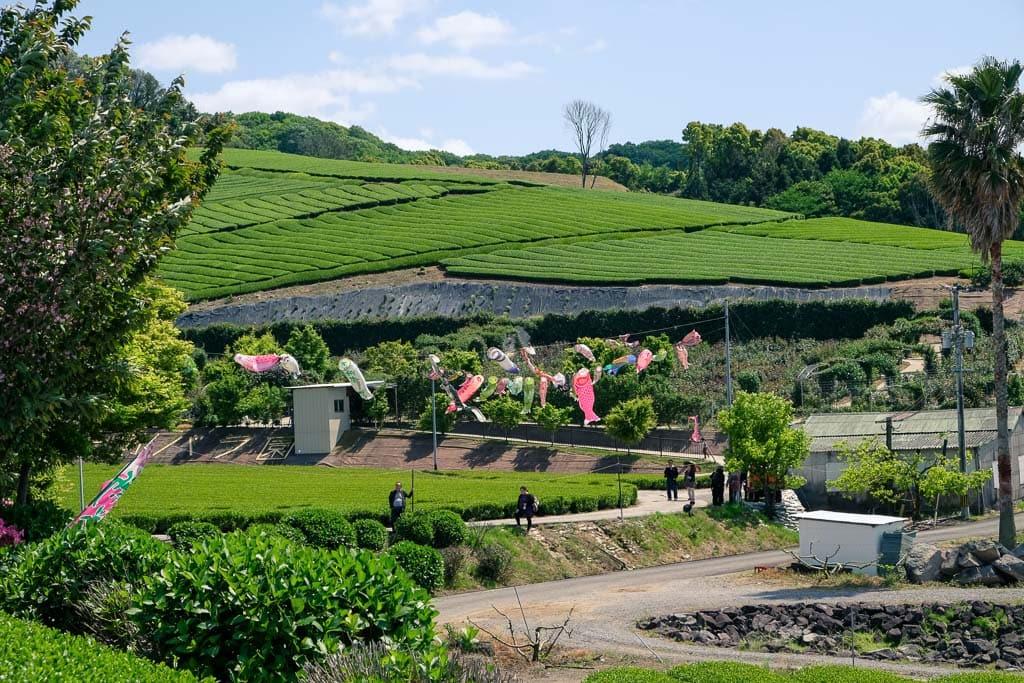 koinobori carp streamers for children's day against a Japanese green tea farm in Oita, Japan