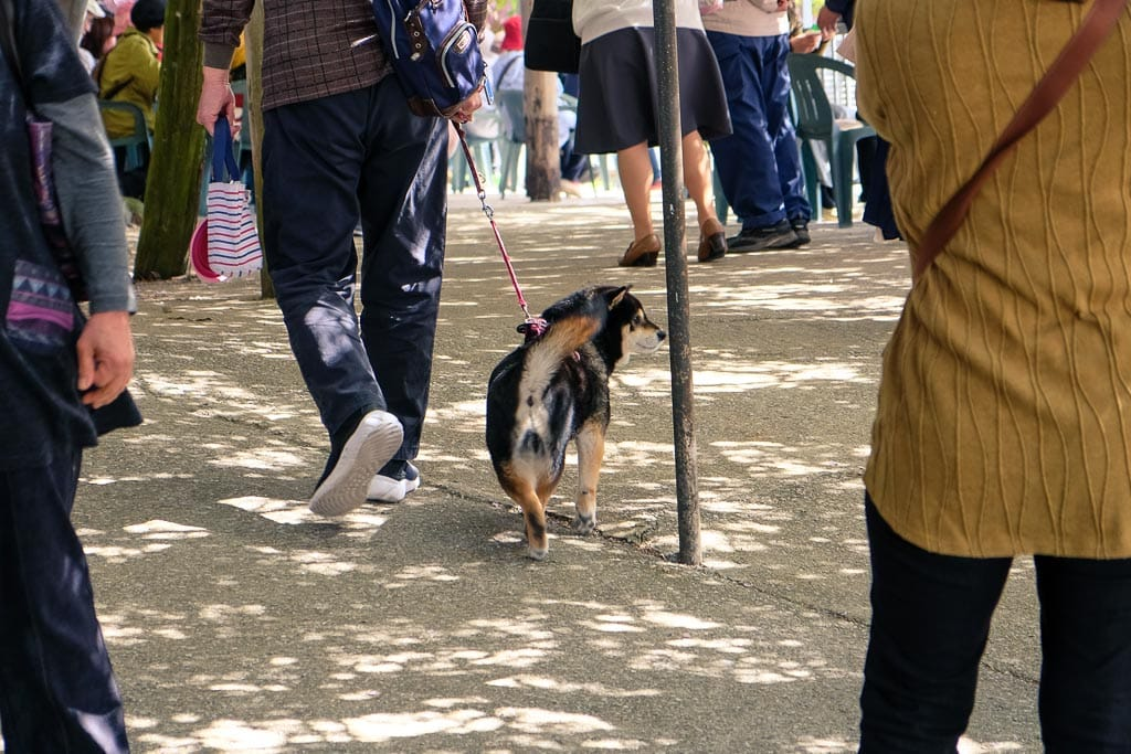 Dog enjoys a walk under the wisteria at Senzai Park, Oita