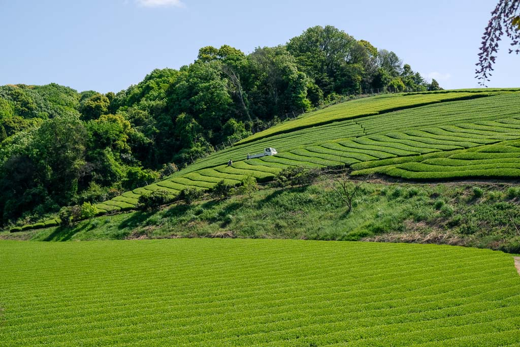 View of Senzai Green Tea Plantation in Oita