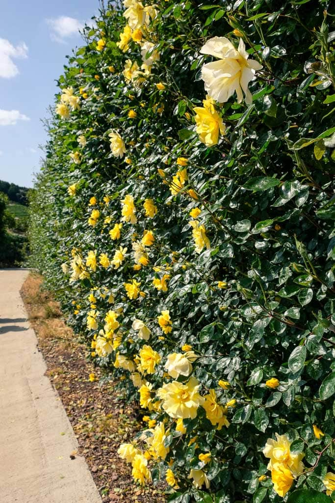 Yellow roses at Senzai Rose Garden