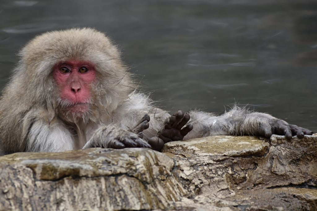 monkey relaxing in onsen looking