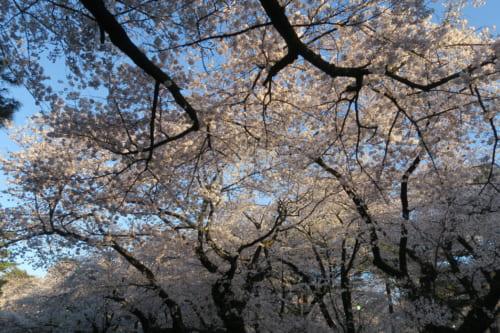 Cherry Blossoms in Saitama Omiya Park