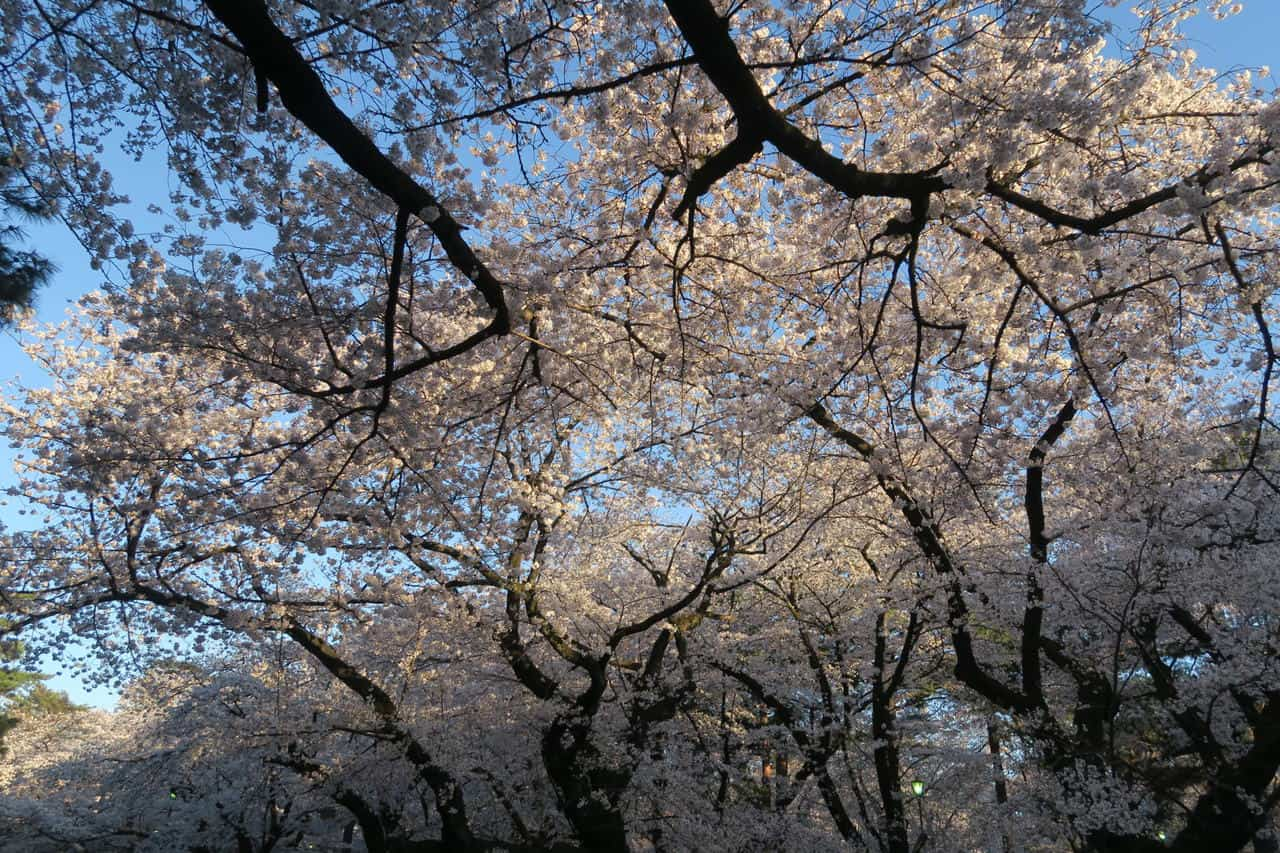 Omiya Park – Saitama's Secret Cherry Blossom Spot