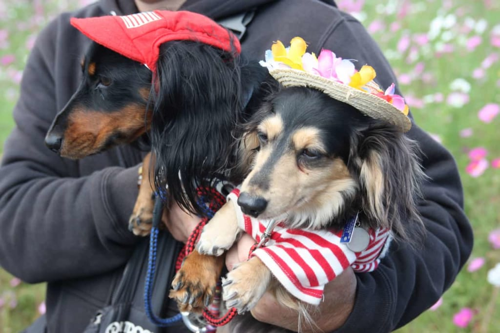 Japanese dogs wearing hats