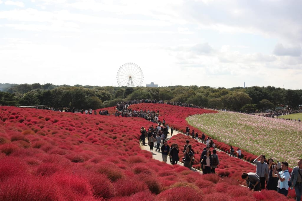 View of the Hitachi Seaside Park in autumn