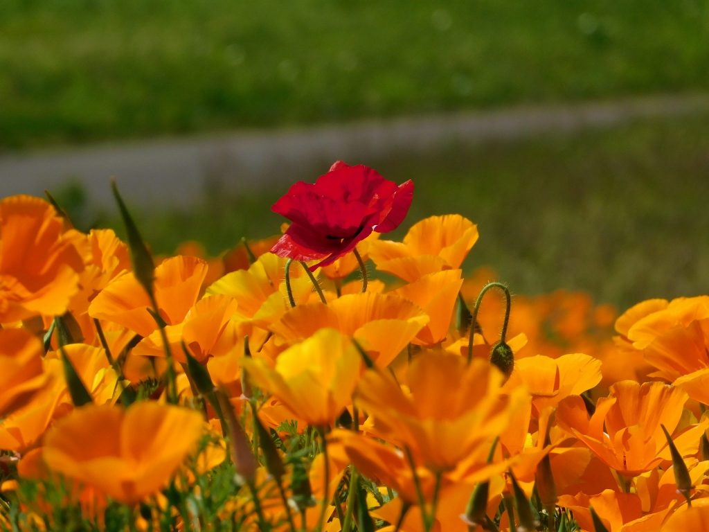Poppy at Hitachi Seaside Park.