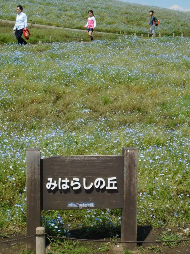 Miharashi Hill covered with Nemophila.