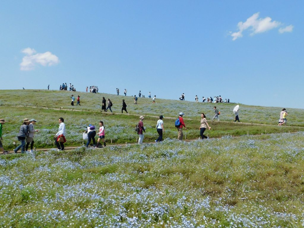 Nemophila at Hitachi Seaside Park.