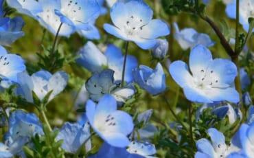 Sky-blue Nemophila.