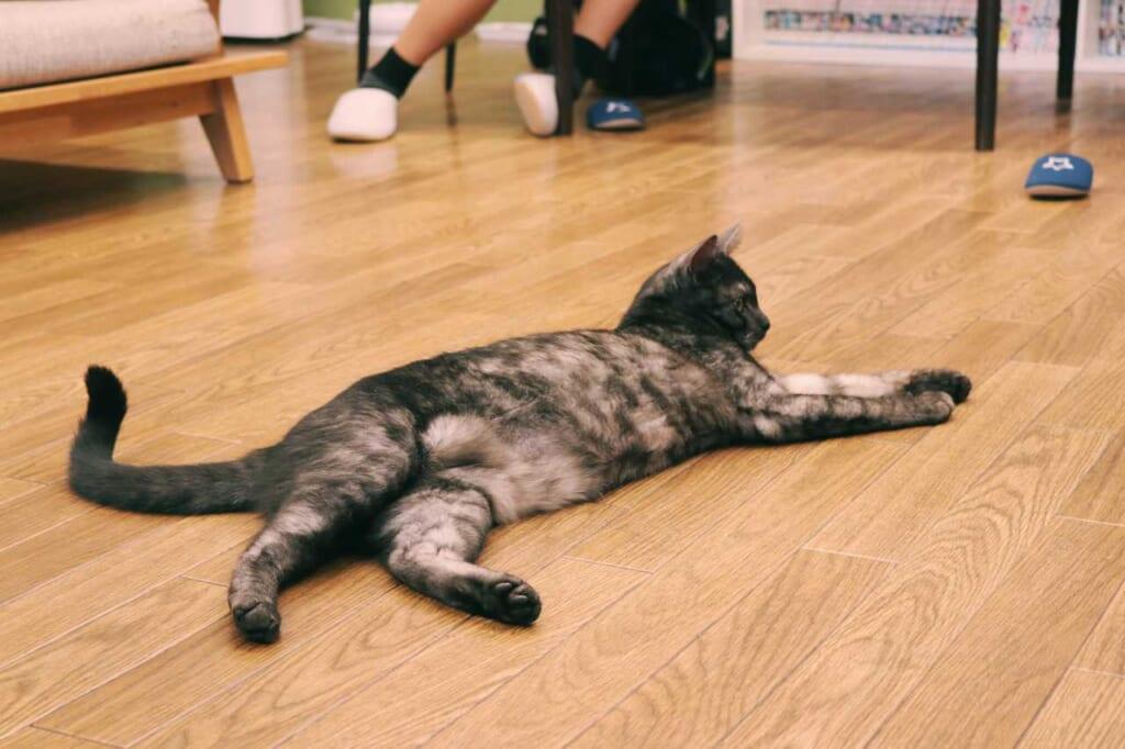 A cat lying on the floor at the Goma Café