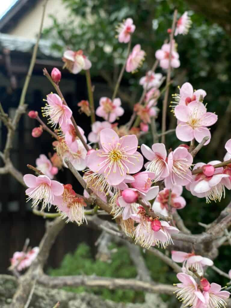 Ume plum blossoms in front of Chojiya in Mariko