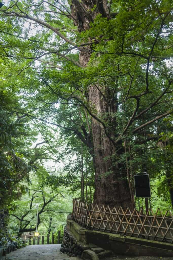 600 year old Ginkgo