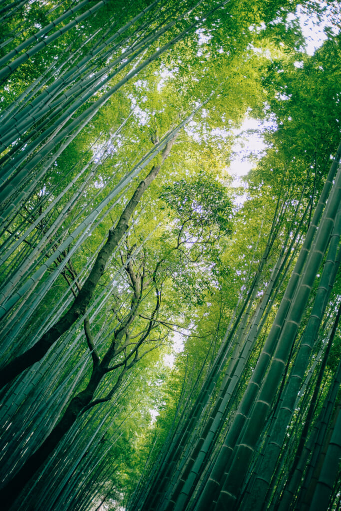 The green bamboos in Arashiyama bamboo forest