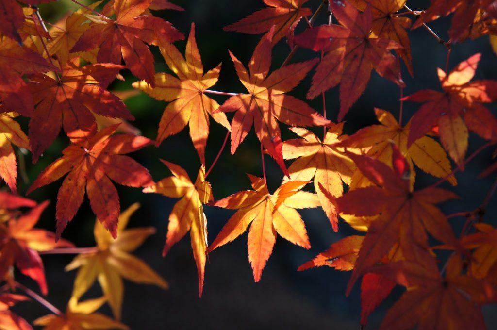 autumn leaves adachi art museum