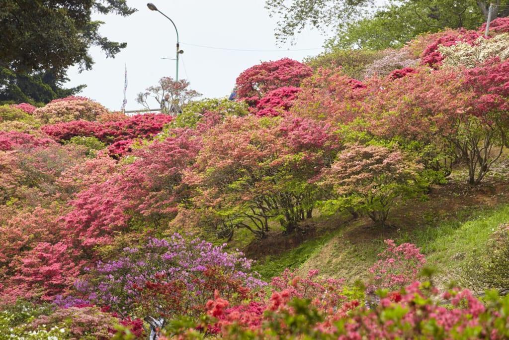 Plum trees in bloom in Kairakuen Gardens
