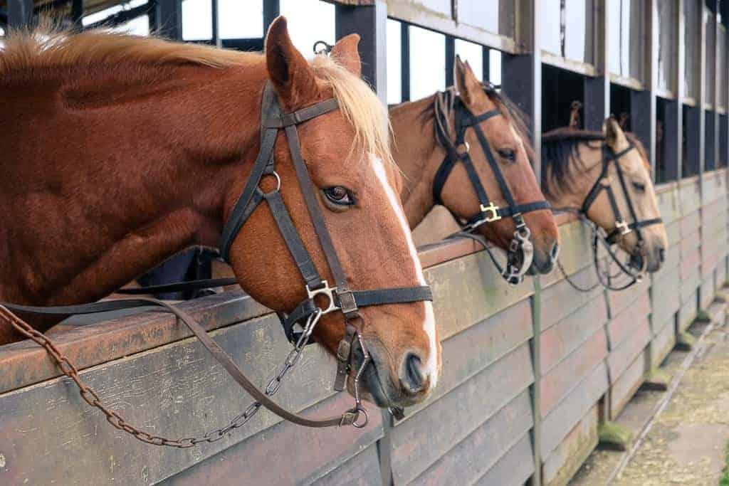 Horses in Japan.