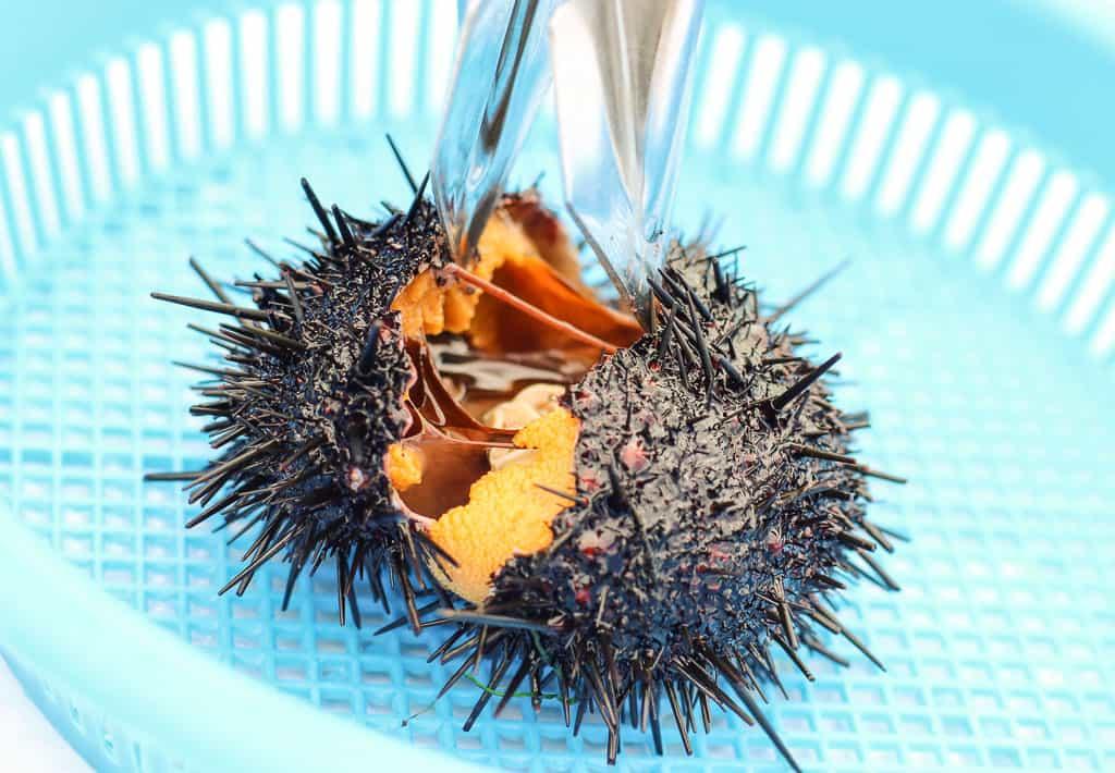 Opening sea urchin at Kamui Kaigan Park on Rishiri Island, Hokkaido