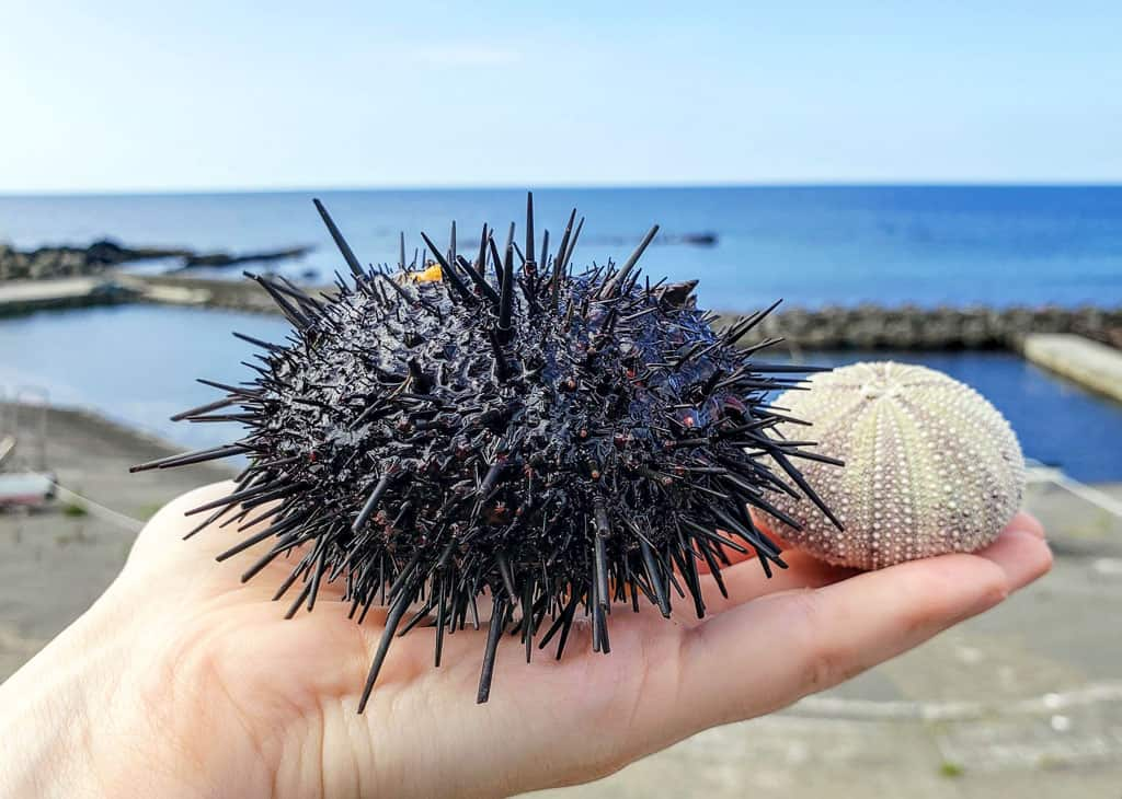 Delicate Sea urchin shells at Kamui Kaigan Park