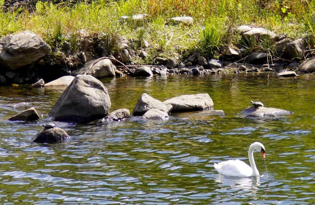 Swan floating on the river, turtles basking on rocks in Okayama