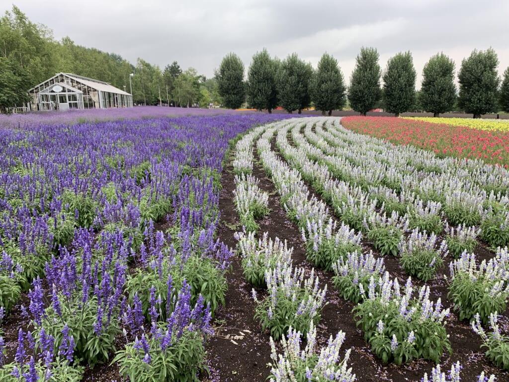 Lavender in Farm Tomita in Hokkaido