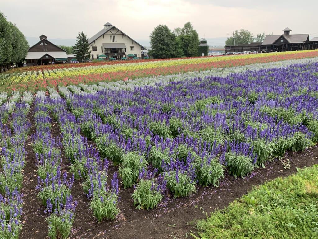 Lavender rows in Farm Tomita in Hokkaido